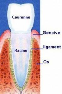 La dent c'est comme un iceberg :  la partie visible, c'est la couronne naturelle.  la partie cachée, c'est la racine dans l'os.  Entre la racine et l'os il y a le ligament. La gencive recouvre et protège l'os.