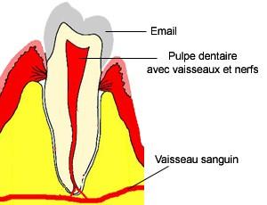 Dent saine. Le sang circule à l'intérieur de la dent et repart dans la circulation générale.